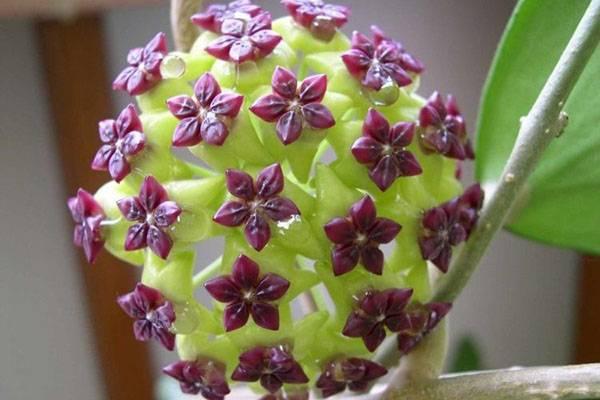 Популярные виды тропической красавицы хойи: их особенности и фото