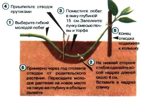 Как размножить кизил самому?