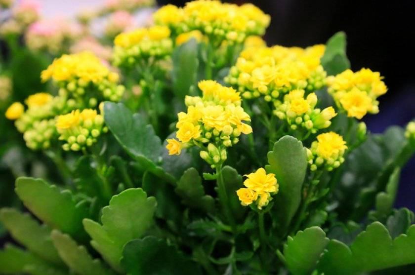 Суккулент с зелеными листьями и разноцветными бутонами каланхоэ: уход в домашних условиях, тонкости полива и выращивания уникального растения