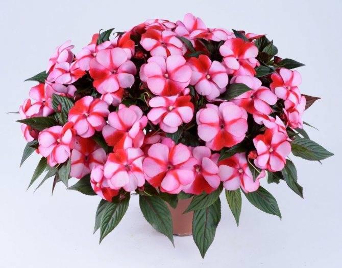 Особенности выращивания растений в домашних условиях: чем подкормить петунию для обильного цветения?
