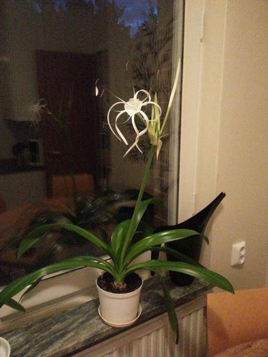 Цветок гименокаллис — уход в домашних условиях