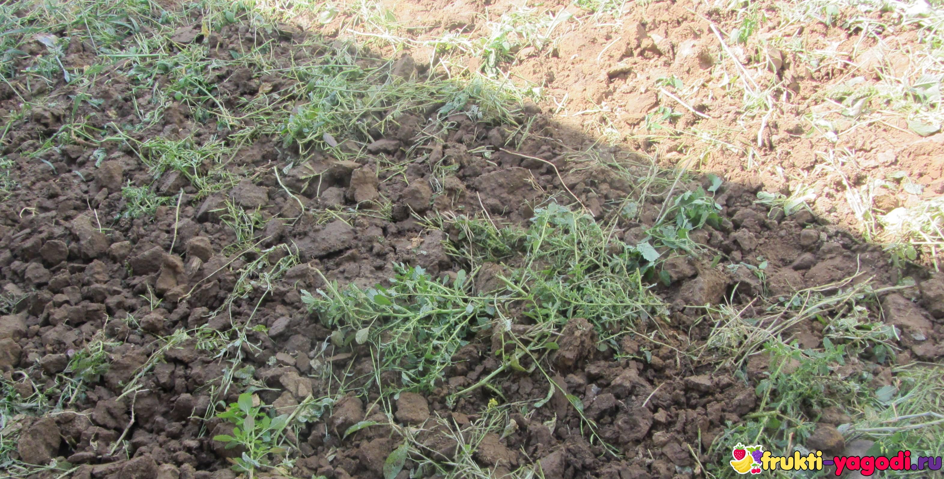 Сидераты: когда сеять и закапывать, какие сидераты лучше