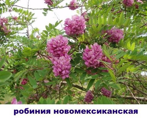 Ароматная и прекрасная акация: описание дерева с фото