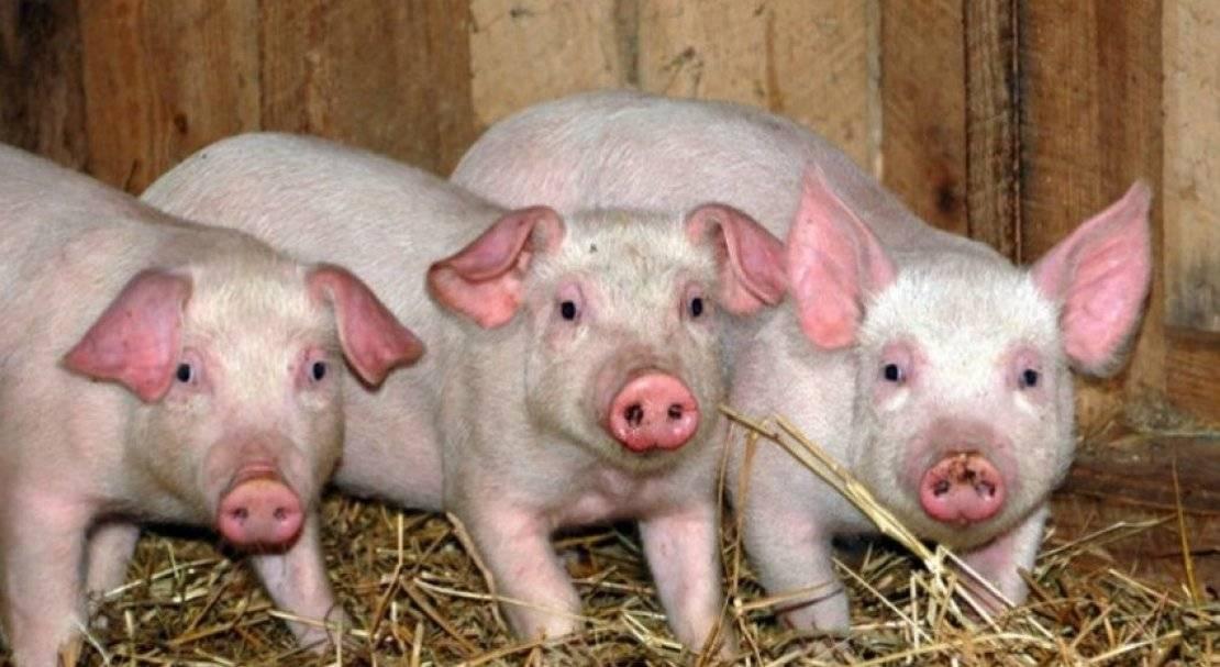 Домашняя свинья: нюансы выбора и разведения самых продуктивных пород свиней. 115 фото и советы опытных фермеров