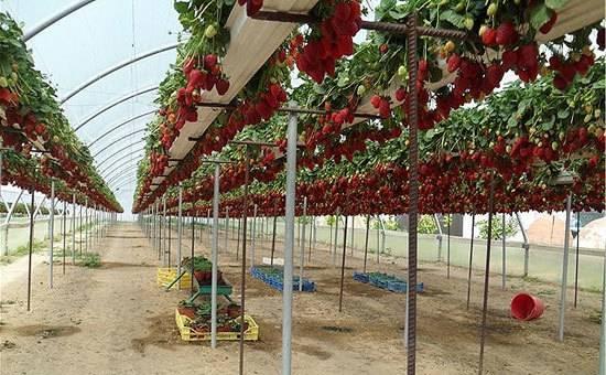 Выращивание клубники по голландской технологии