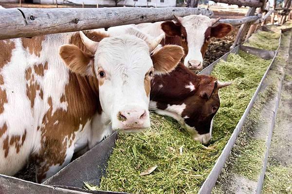 Польза силоса для коров и как правильно делать в домашних условиях, хранение