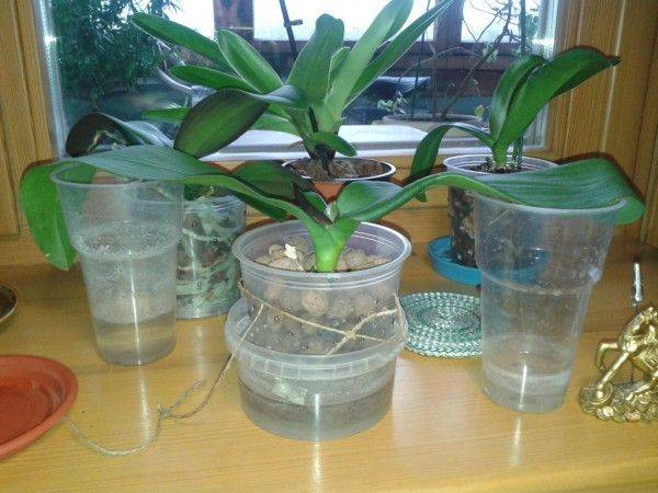 Узнайте все о детках орхидеи фаленопсиса: как выглядят, посадка и уход