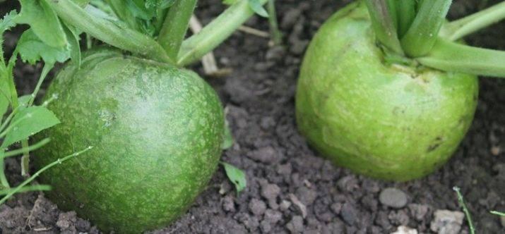 Советы огородникам, когда лучше сажать семена маргеланской редьки в открытый грунт и в теплицу