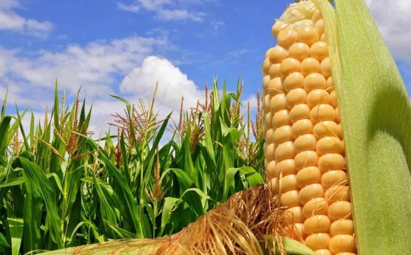 Выращивание вкусной кукурузы на дачном участке