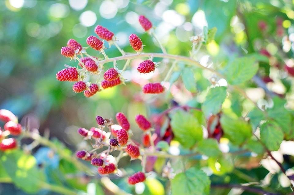 Зарабатываем на выращивании и продаже малины