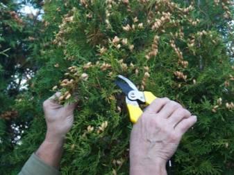 Выращивание туи из семян: особенности посадки и ухода в домашних условиях