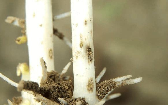 Проволочник или жук-щелкун – описание вредителя