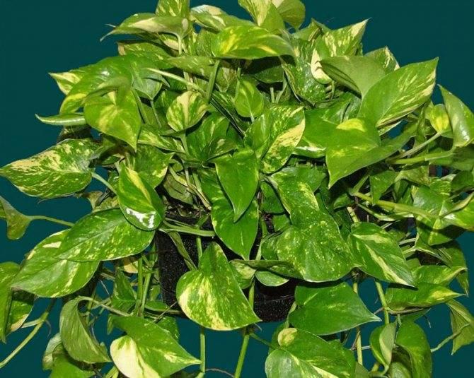 Выращивание сциндапсуса из семян в домашних условиях и особенности ухода за ней