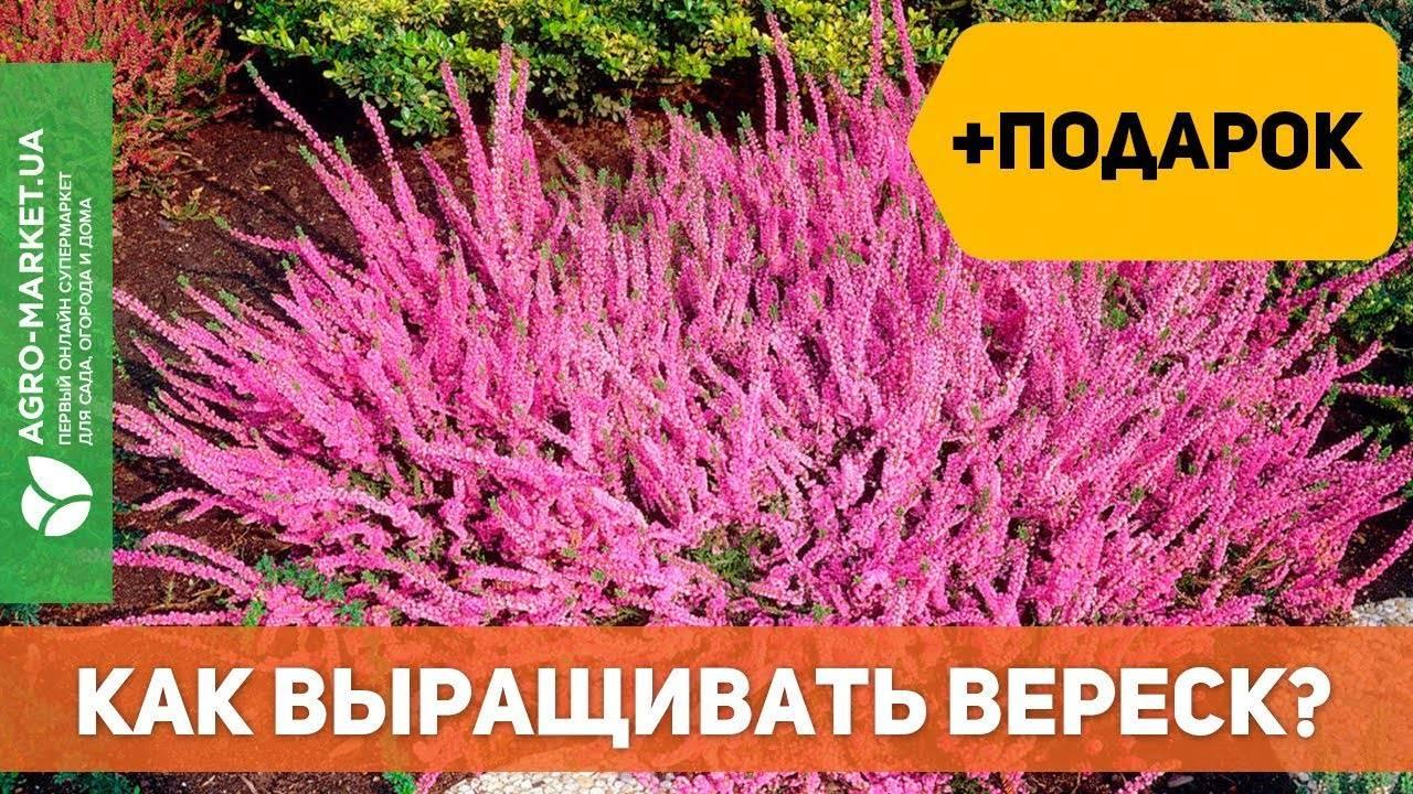 Где растет вереск в россии? вереск: посадка и уход в ленинградской области и подмосковье