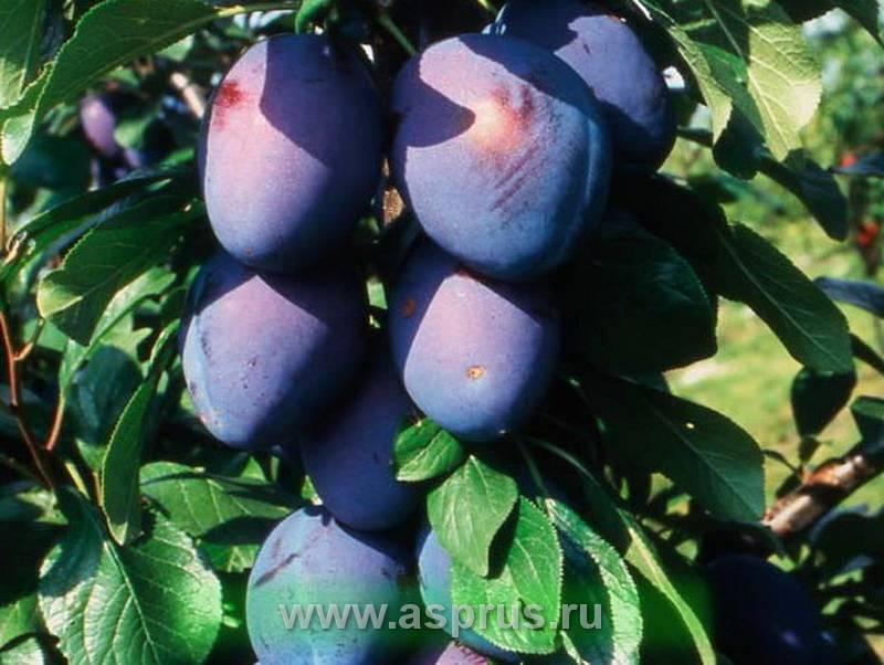 Самые крупноплодные и сладкие сорта сливы с фото и описанием