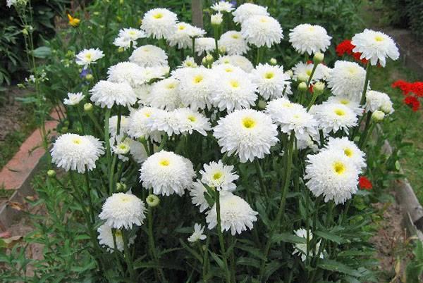 Неприхотливые долгоцветущие многолетники для сада