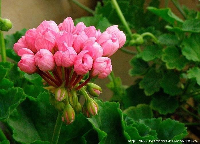 Выращивание герани посадка и уход в домашних условиях размножение черенками и делением куста
