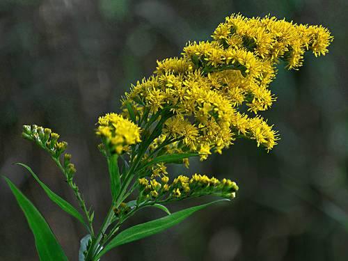 Клоповник — польза, вред, целебные свойства и противопоказания применения растения в народной медицине (105 фото)