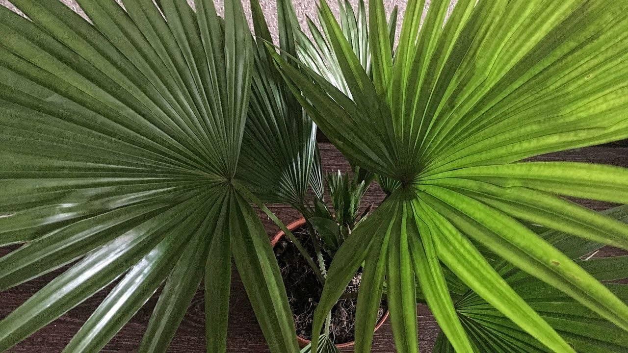 Вашингтония — пальма «в нижней юбке»