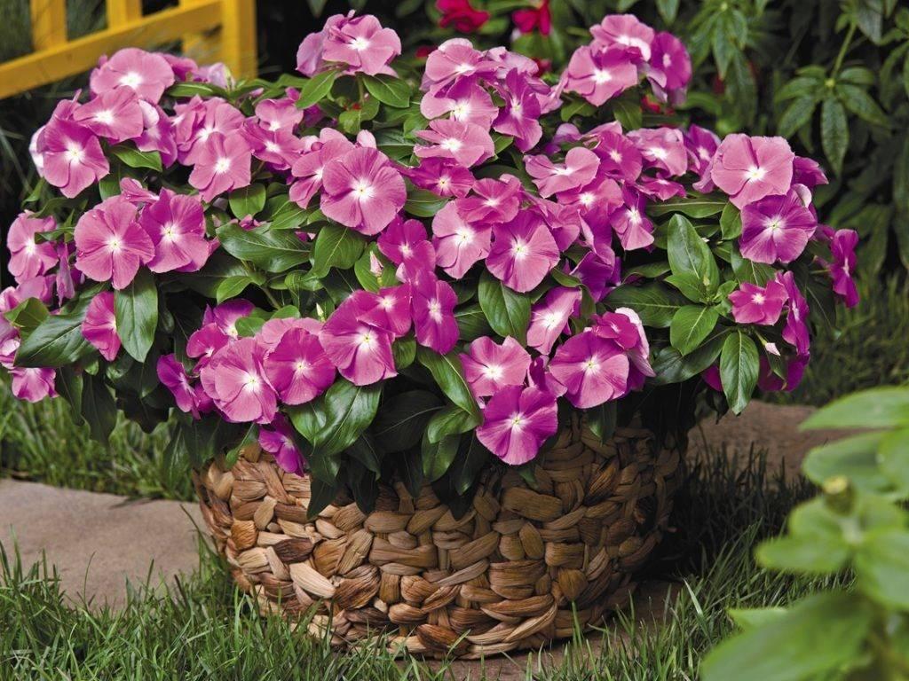 Выращивание катарантуса в саду не доставит много хлопот