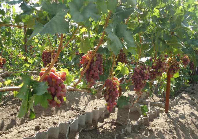 Перспективный сорт xxi века: виноград «потомок ризамата»
