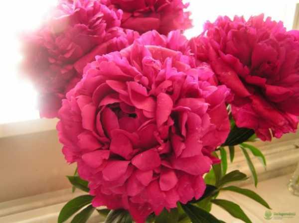 Когда цветут пионы после посадки на садовом участке