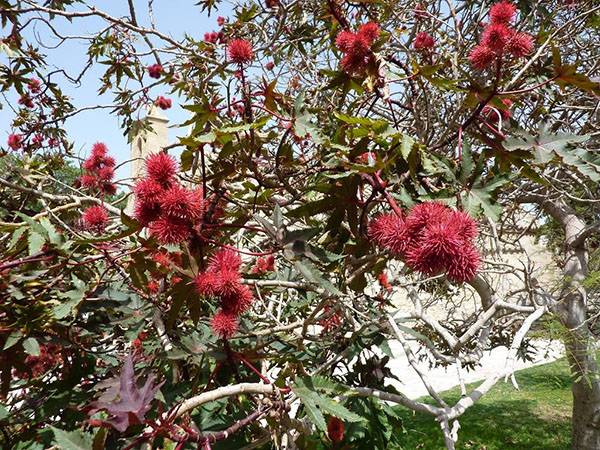 Клещевина: посадка и уход, выращивание из семян