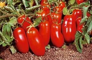 Самые популярные ранние сорта томатов