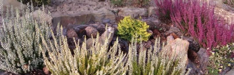 Где растет и как выглядит символ шотландии вереск + видео