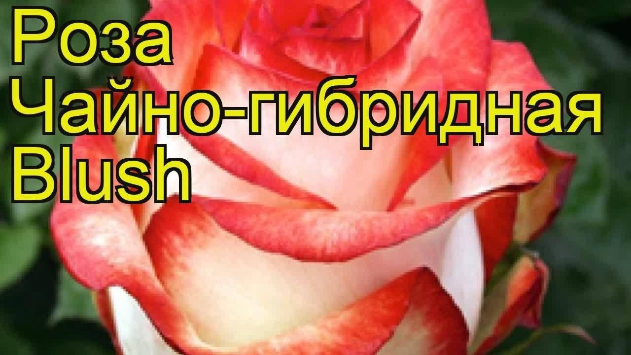 Королева двухцветных чайно-гибридных роз дабл делайт