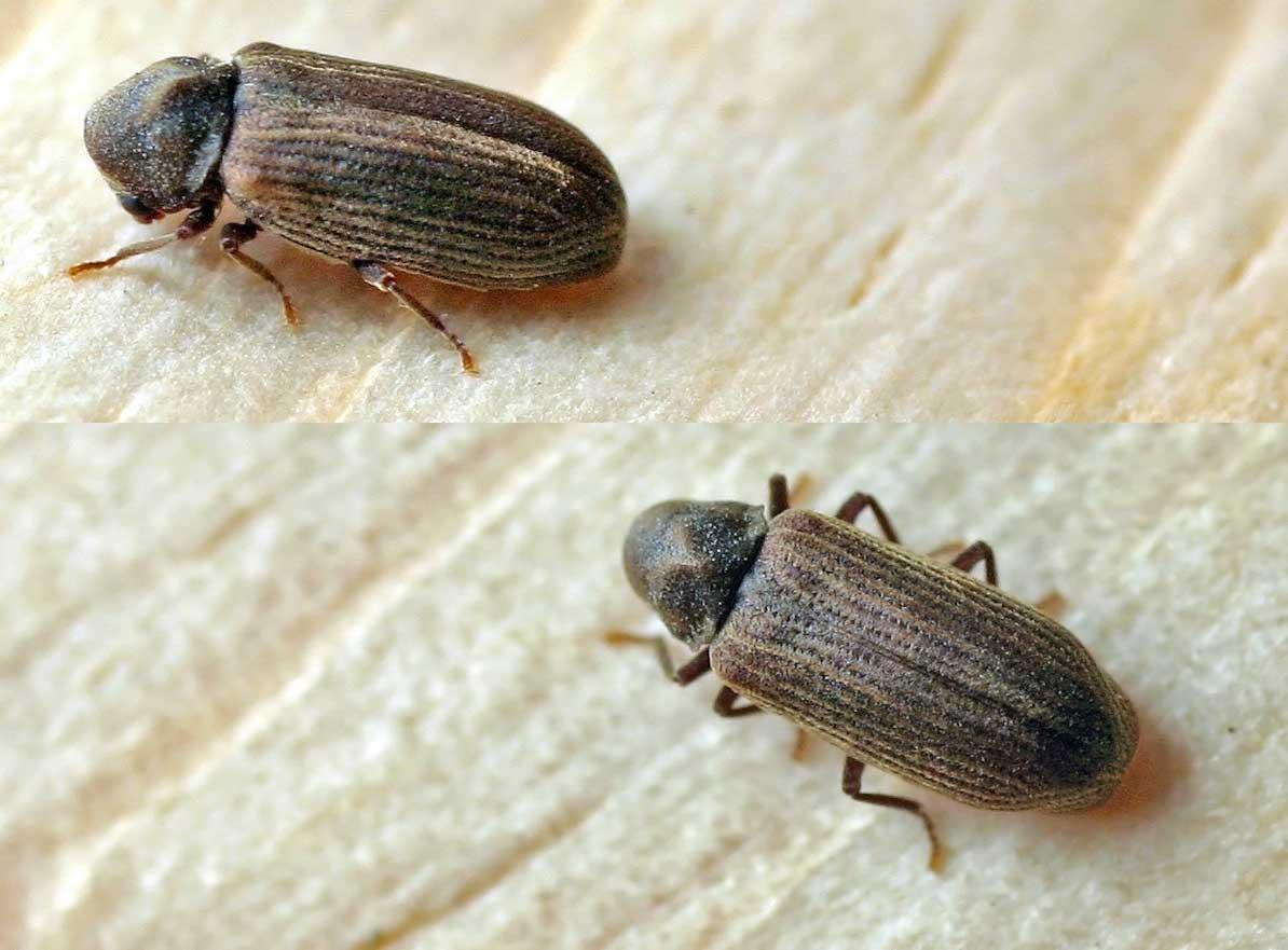 Эффективные методы борьбы с жуком щелкуном