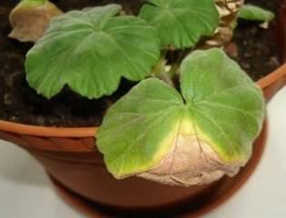 Желтеют и сохнут листья по краям у герани: почему это происходит и как с этим бороться?