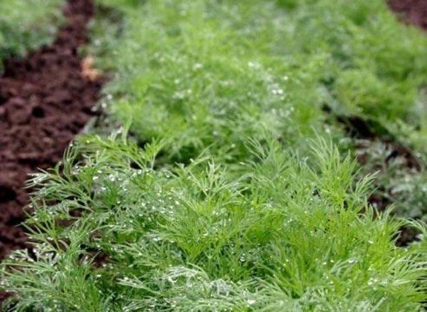 Как правильно посадить и вырастить хороший укроп