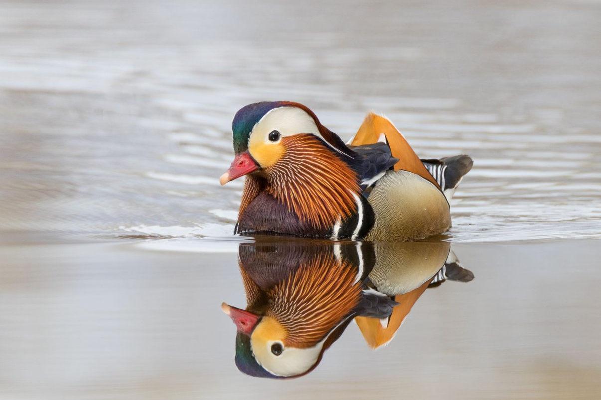 Особенности утки мандаринки – красивой и редкой птицы