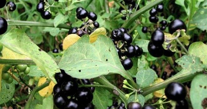 Ягода санберри: выращивание, полезные свойства и противопоказания