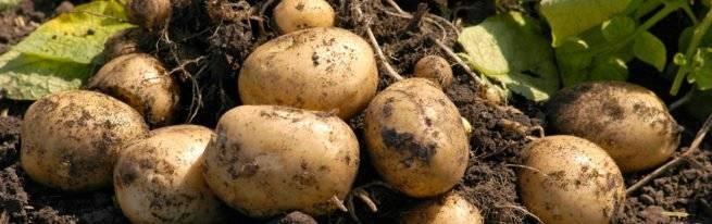 Кто съедает картошку? топ-5 самых опасных вредителей картофеля