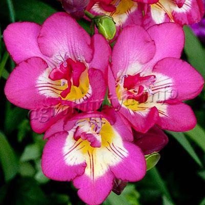 Фрезия: выращивание в саду и дома