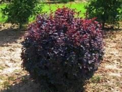 Барбарис: виды кустарника, особенности посадки и ухода
