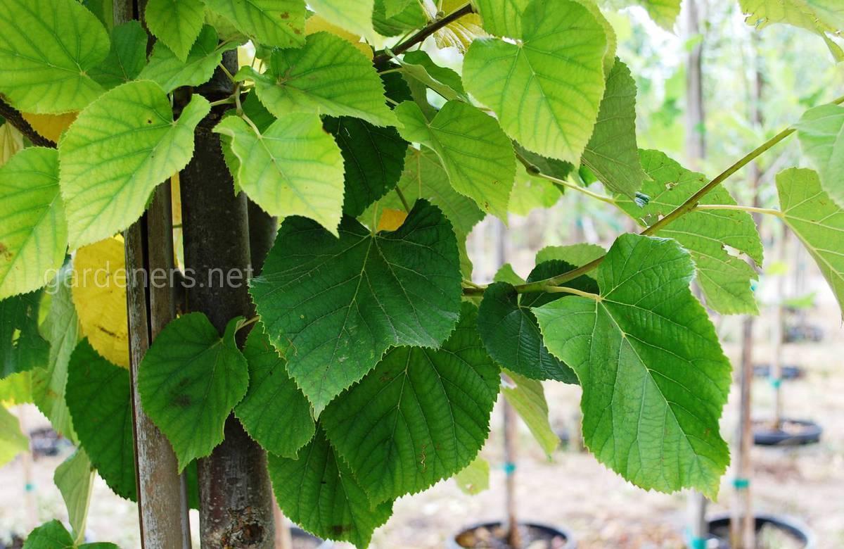 Липа — золотое дерево
