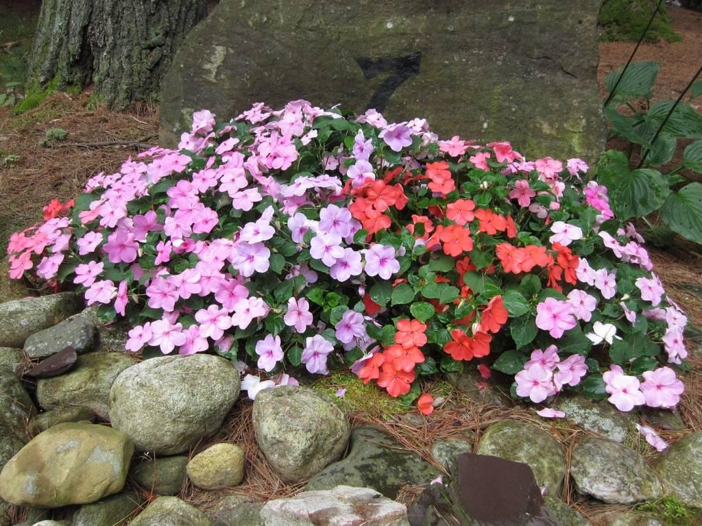 Выясняем, чем подкормить бегонию: лучшие удобрения для обильного цветения в домашних условиях