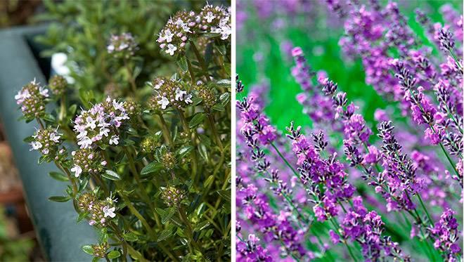 Чабер и чабрец: в чем разница и чем похожи эти травы?