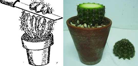 Вегетативное размножение: размножение усами