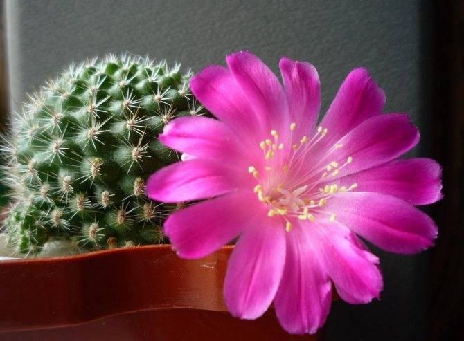 Почему не цветут кактусы?