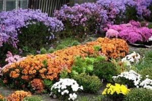 Хризантема шаровидная: разбираемся в вопросе