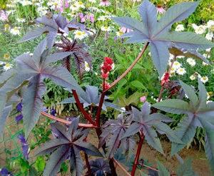 Секреты выращивания клещевины из семян