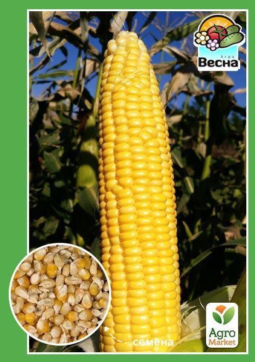 Выращивание рассады сахарной кукурузы – посев и уход