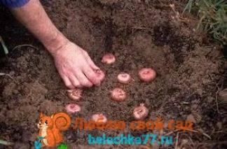 Как сажать гладиолусы, чтобы они не падали на землю