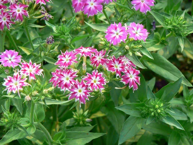 Выращивание однолетних флоксов друммонда из семян: посадка и уход