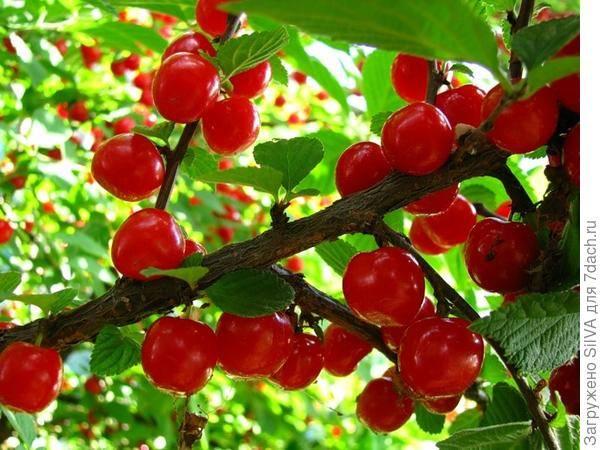 Вишня стойкая — описание сорта, фото, отзывы садоводов