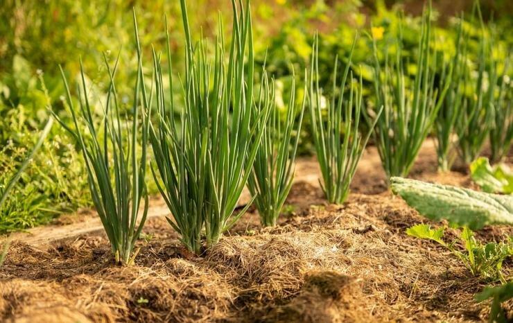 Выращивание лука шалота